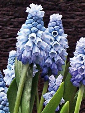 Гадюча цибулька (мускарі) блакитна 56 (5 шт)