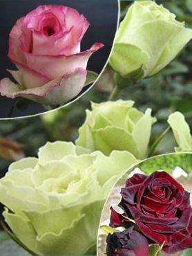 """Набор чайно-гибридных роз""""Лей ле Роз"""" (3 шт)"""