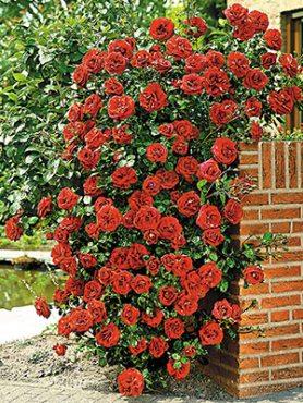 Роза плетистая Santana(1 шт)