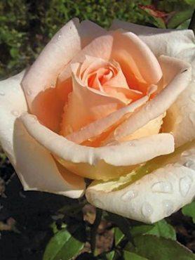 Роза чайно-гибридная Osiana (1 шт)
