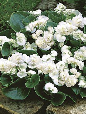 Бегонія вечноцветущая Champion Double White (3 шт)