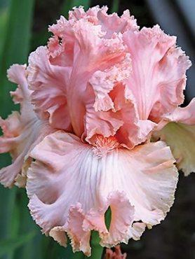 Ирисы высокие бородатые Lotus Land (1 шт)
