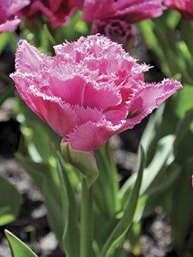 Тюльпаны Махровые бахромчатые Matchpoint 11/12 (3 шт)