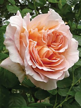Роза шраб Polka(1 шт)
