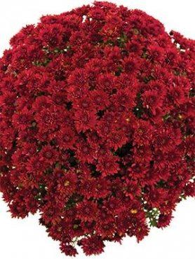 Хризантема мелкоцветковая низкорослая Branopal Red (9 шт)