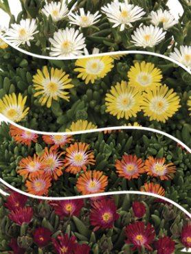 Набор  Confetti Garden Desert Sun (1 шт)
