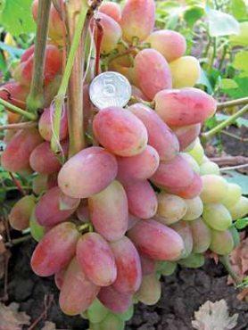 Виноград Преображение(1 шт)