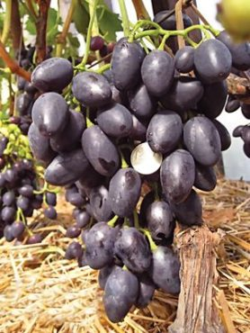 Виноград Надія АЗОС(1 шт)