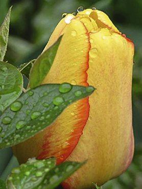 Тюльпаны Дарвиновы гибриды Blushing Apeldoorn 12+ (3 шт)