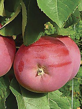 Яблоня колоновидная Соло (1 шт)