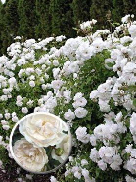 Роза почвопокровная Swany (1 шт)
