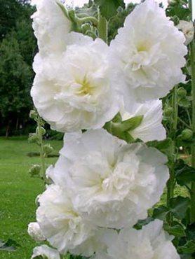 Мальва (шток-роза) белая махровая (5 шт)