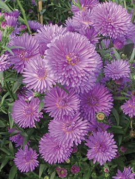 Айстра новобельгійська Henry I Purple (1 шт)