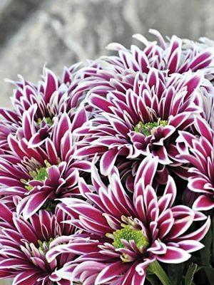 Хризантема срезочная Saba (3 шт) - 1