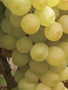 Виноград Гелиодор(1 шт)