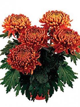 Хризантема кімнатні Trumpf Red (9 шт)