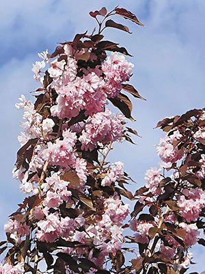 Вишня японская (сакура) Royal Burgundy (1 шт) - 1