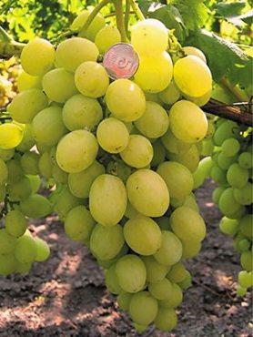 Виноград Ермак (1 шт)