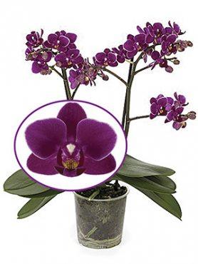 Фаленопсис гибридный Purple Princess (1 шт)