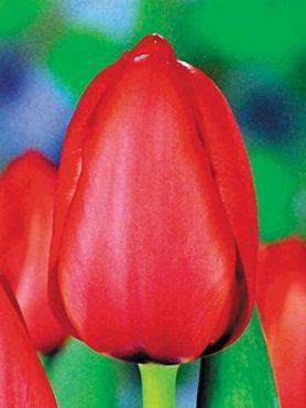Тюльпани Дарвиновы гібриді. Red Impression 1112 (3 шт)