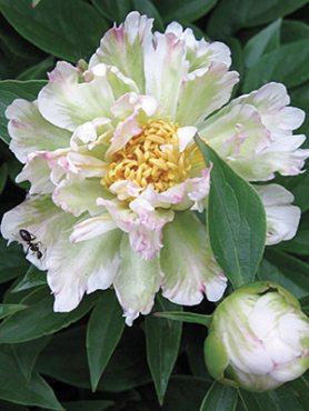Півонія молочноквіткова Green Lotus (1 шт)