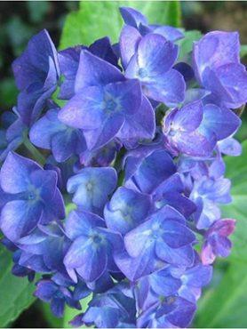 Гортензия крупнолистная Blauer Zwerg (1 шт)