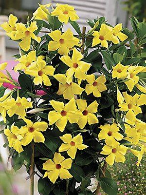 Дипладения Bloom Bells Yellow (1 шт) - 1