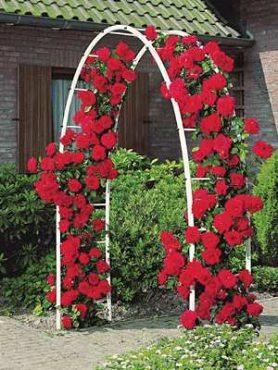 Роза плетистая Musimara (1 шт)