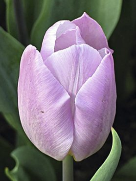 Тюльпаны Простые ранние Candy Prince 12+ (100 шт)