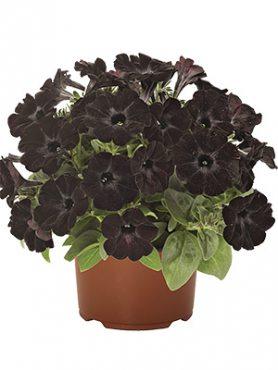 Петуния полуампельная Sweetunia Black Satin (3 шт)