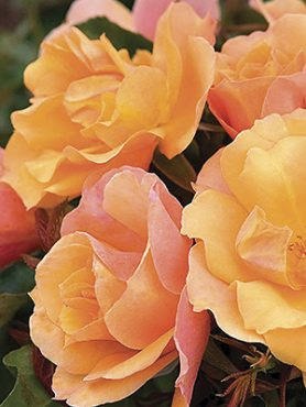 Роза флорибунда Tequila(1 шт)