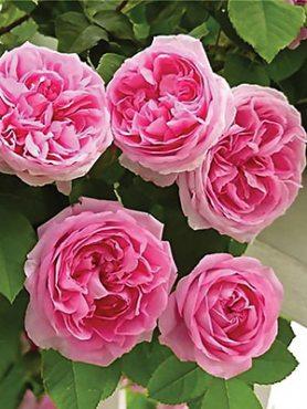 Роза в'юнка Pink Musimara(1 шт)