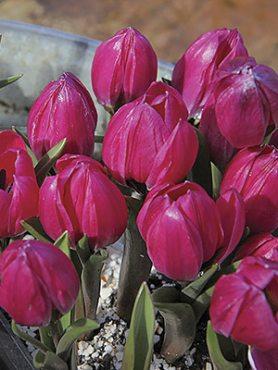 Тюльпан карликовый Violancea 68 (3 шт)