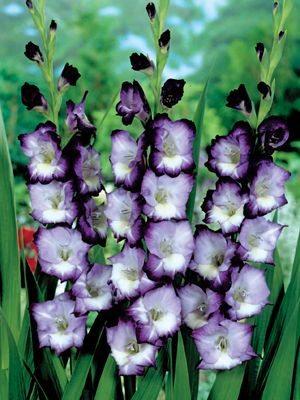 Гладиолус садовый Kings Lynn (5 шт) - 1