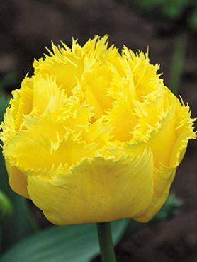 Тюльпаны Махровые бахромчатые Exotic Sun 11/12 (3 шт)