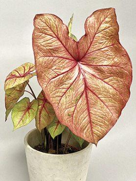 Каладиум двухцветный Autumn Beauty (1 шт)