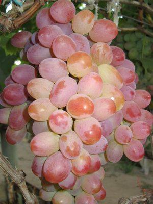 Виноград Ливия (1 шт) - 1