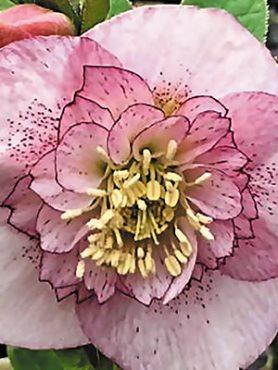 Морозник восточный анемоновидный, розовый с крапом (1 шт)