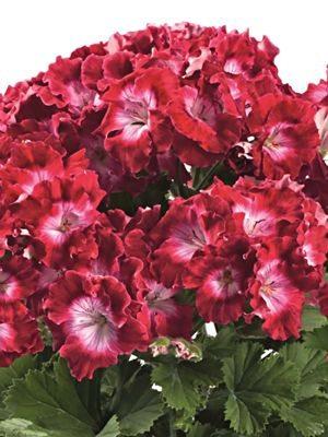Пеларгония королевская Bermuda Dark Red (1 шт) - 1