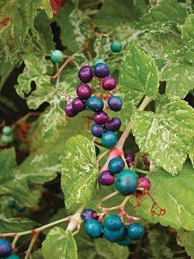 Виноградовник залозистий Elegans (1 шт)