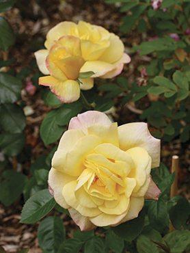 Роза шраб Chinatown(1 шт)