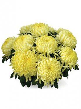 Хризантема горшечная Angelis Jaune (3 шт)