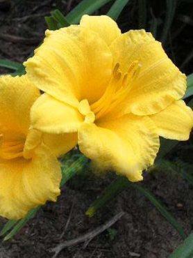 Лилейник гибридный Stella d'Oro (осень) (1 шт)