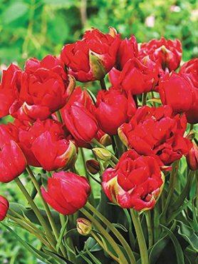 Тюльпаны Махровые ранние Estatic 1011 (20 шт)