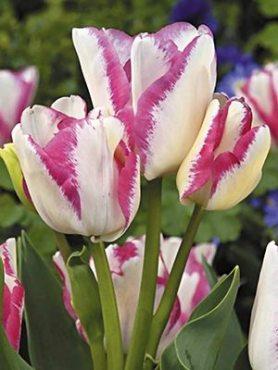 Тюльпаны Многоцветковые Del Piero 1112 (3 шт)