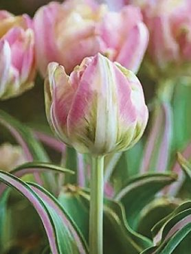 Тюльпаны Махровые поздние Happy Upstar 1011 (20 шт)