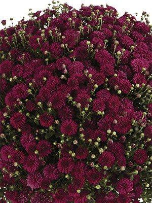 Хризантема мелкоцветковая низкорослая Harlem Red (9 шт) - 1