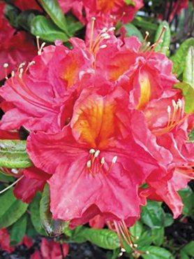 Рододендрон гібридний Juanita (1 шт)