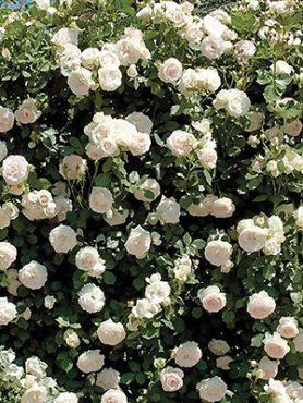 Роза плетистая Mont Blanc(1 шт)