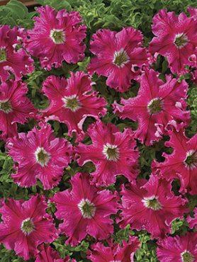 Петуния бахромчатая крупноцветковая Афродита розовая F1 (5 шт)